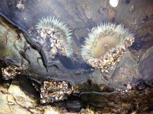 open anemone