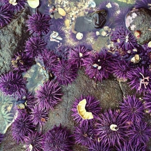 sea urchins greta